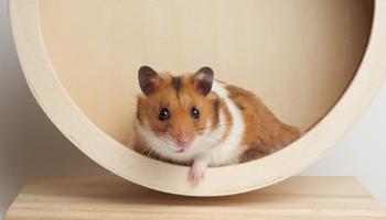Hamster in the Wheel